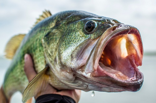 largemouth bass held in persons hand