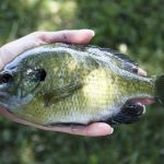 how to fish for bluegill