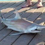best bait for shark fishing in florida