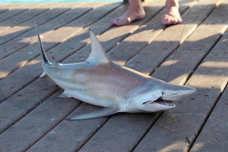 best bait for shark fishing in florida